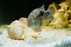 Andinoacara rivulatus,  (Бирюзовая акара) Royalty Free Stock Images